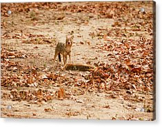 Acrylic Print featuring the photograph Jackal Standing Over Deer Kill by Fotosas Photography