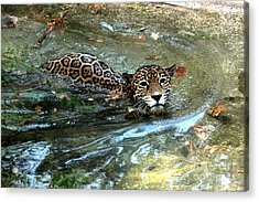 Acrylic Print featuring the photograph Jaguar In For A Swim by Kathy  White