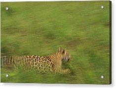 Jaguar Panthera Onca Running Acrylic Print by Claus Meyer