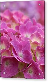 Japan, Kanagawa Prefecture, Sagamihara City, Close-up Of Pink Flowers Acrylic Print