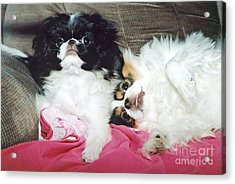 Acrylic Print featuring the photograph Japanese Chin Dogs Begging For Treats by Jim Fitzpatrick