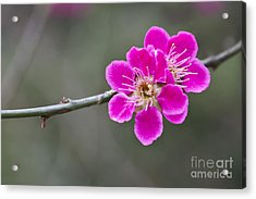 Acrylic Print featuring the photograph Japanese Flowering Apricot. by Clare Bambers