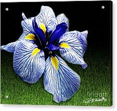 Japanese Iris Ensata - Botanical Wall Art Acrylic Print