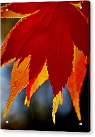 Japanese Maple Acrylic Print