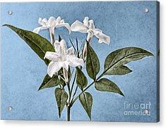 Jasminum Officinale Acrylic Print by John Edwards