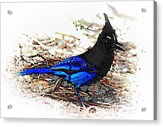 Jay On Pine Needles Acrylic Print by Val Armstrong