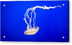 Jelly Fish Acrylic Print by Heather Applegate