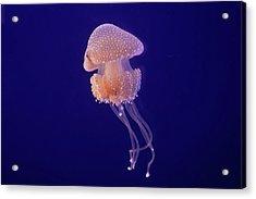 Jellyfish Acrylic Print by Pandiyan V