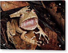 Johnsons Horned Treefrog Hemiphractus Acrylic Print by Michael & Patricia Fogden