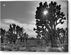 Joshua Tree National Preserve Acrylic Print by Eddie Yerkish