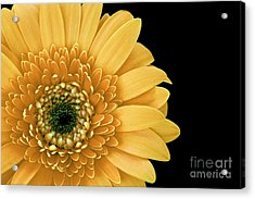 Joyful Delight Gerber Daisy Acrylic Print by Inspired Nature Photography Fine Art Photography
