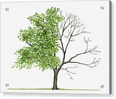 Juglans Cinerea (butternut): Illustration Showing Shape Of Deciduous Juglans Cinerea (butternut) Tree With Green Summer Foliage And Bare Winter Branches Acrylic Print by Liz Pepperell
