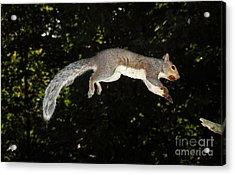 Jumping Gray Squirrel Acrylic Print by Ted Kinsman