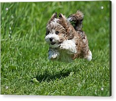 Jumping Puppy Acrylic Print by @Hans Surfer