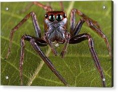 Jumping Spider Papua New Guinea Acrylic Print by Piotr Naskrecki