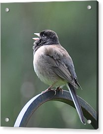 Acrylic Print featuring the photograph Junco Sings by Ronda Broatch