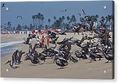 Junior Lifeguards And Pelicans Acrylic Print