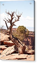 Juniper - Colorado National Monument Acrylic Print by Bob and Nancy Kendrick