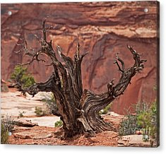 Juniper At Canyonlands Acrylic Print by Bob and Nancy Kendrick