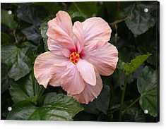 Just Blossoming Hibiscus Acrylic Print by Craig Wood