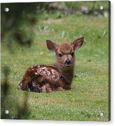 Just Born Bambi Acrylic Print by Kym Backland