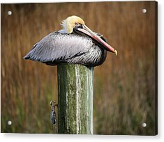 Just Chillin Acrylic Print by Paulette Thomas