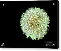 Acrylic Print featuring the photograph Just Dandy by Cindy Manero