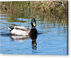 Just Duckie Acrylic Print by George Hawkins