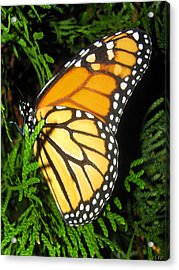 Just Out Of Cacoon Acrylic Print by Debra     Vatalaro