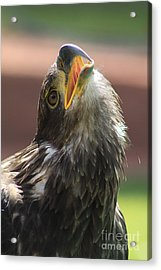 Acrylic Print featuring the photograph Juvenile Bald Eagle by Alyce Taylor