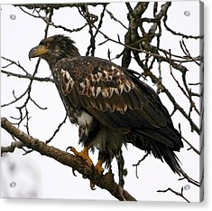 Juvenile Bald Eagle Acrylic Print by Carrie OBrien Sibley