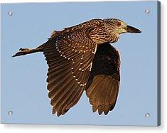 Juvenile Black Crowned Night Heron In Flight Acrylic Print by Paulette Thomas