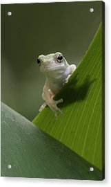 Acrylic Print featuring the photograph Juvenile Grey Treefrog by Daniel Reed