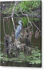 Juvenile Little Blue Heron Acrylic Print by Jeanne Kay Juhos