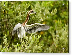 Juvenile Tricolored Heron Egretta Acrylic Print by Tim Laman