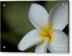 Kaena Mana I Ka Lani Kaulani Na Pua Plumeria Hawaii Acrylic Print by Sharon Mau