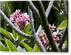 Kalachuchi Flowers Acrylic Print by Andre Salvador