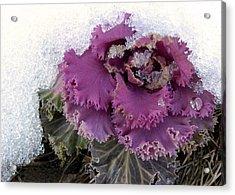 Kale Plant In Snow Acrylic Print by Sandi OReilly