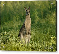 Kangaroo Female Acrylic Print by Bob Christopher