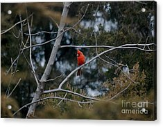 Acrylic Print featuring the photograph Kansas Cardinal by Mark McReynolds
