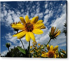 Kansas Sunflower Acrylic Print by Ed Golden