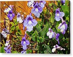 Kathy's Violets From Australia Acrylic Print