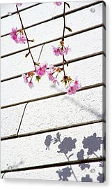 Kawadu Sakura Acrylic Print by Privacy Policy