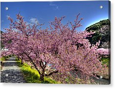 Kawazu Sakura-1 Acrylic Print