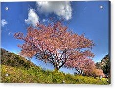 Kawazu Sakura-ii Acrylic Print by Tad Kanazaki