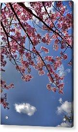 Kawazu Sakura-iii Acrylic Print by Tad Kanazaki