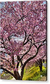 Kawazu Sakura  Acrylic Print by Tad Kanazaki