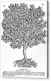 Kermes Oak Tree Acrylic Print by Granger