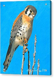 Acrylic Print featuring the drawing Kestrel by Ana Tirolese