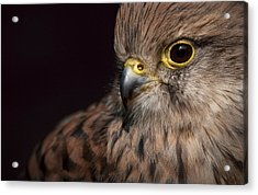 Kestrel Close Up Acrylic Print